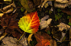 Birch Leaf. A single birch leaf with vibrant fall color standing alone Stock Photography