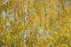 Birch leafage background. Autumnal yellow birch leafage background Stock Photos