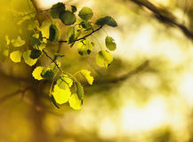 Birch leafes in sunlight. Green leaves of birch in sunlight, shallow depth of field Royalty Free Stock Photography