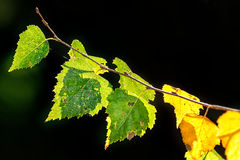 Birch leafs backlighted. A branch in the yellow and green colors Stock Photos