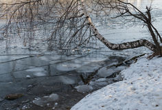 Birch leaned on the pond to ice in November. Moscow royalty free stock images