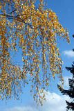 Birch leaves. Birch  autumn leaves on blue sky background Royalty Free Stock Image