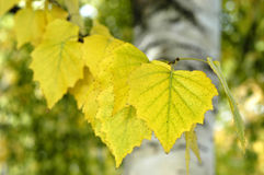 Birch Leaves. Turning yellow in autumn Royalty Free Stock Photos