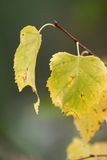 Birch leaves. Autumn birch leaves on a branch Royalty Free Stock Photos