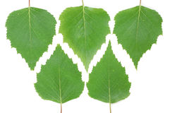 Birch leaves. Green leaves of a birch over a white background royalty free stock images