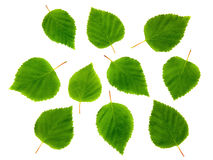 Birch leaves. Royalty Free Stock Image