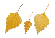 Birch leaves. Stock Photo