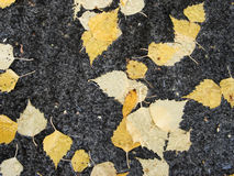 Birch leaves Royalty Free Stock Photos