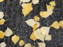 Birch leaves. Yellow birch leaves on asphalt royalty free stock photos