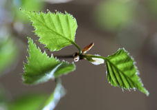 Birch leaves. New birch leaves Stock Photos