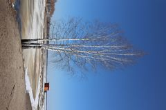 Birch without leaves against the blue sky stock image