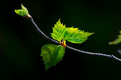 Birch leaves against dark background. Young leaves of Birch in forest against dark background Stock Photo