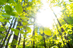 Birch leaves against the sunset Royalty Free Stock Photography