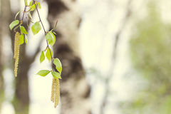 Birch leaves Royalty Free Stock Photography