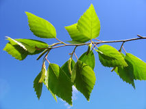 Birch leaves and blue sky. Spring weather Stock Images