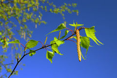 Birch leaves and catkins against bright blue sky Royalty Free Stock Photo