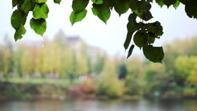 Birch leaves in cityscape under rain in autumn stock video footage