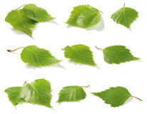 Birch leaves collection Royalty Free Stock Image