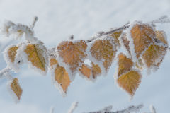 Birch leaves covered with hoarfrost and snow in freezing weather royalty free stock images