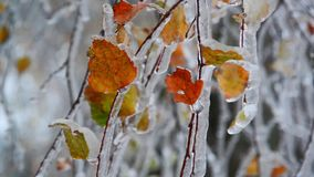 Birch leaves are covered with ice after rain in winter stock video