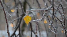 Birch leaves are covered ice after rain in winter stock video footage