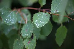 Birch leaves in dew drops.  stock photography