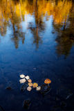 Birch leaves. Fallen birch leaves floating on still water Royalty Free Stock Photos