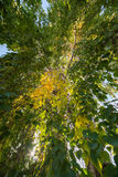 Birch. Leaves green and yellow Stock Photography