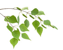 Birch leaves isolated. without shadow Royalty Free Stock Photography