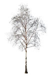 Birch without leaves isolated on white Royalty Free Stock Photo