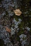 Birch leaves on parmelia lichens mushrooms in autumn Stock Image