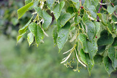 Birch leaves after rain Stock Image
