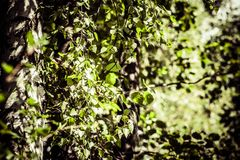 Birch leaves in the rising sun Stock Images