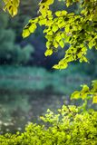 Birch leaves in the rising sun Royalty Free Stock Photography