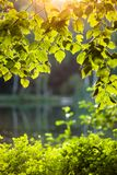 Birch leaves in the rising sun Stock Image