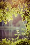 Birch leaves in the rising sun.  Stock Image