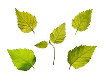 Birch leaves set Stock Image