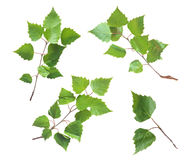 Birch Leaves Set Isolated on White Royalty Free Stock Photography