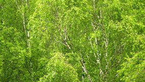 Birch leaves slowly sway from the wind.