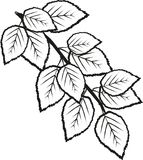 Birch leaves sprig mono. Sprig or Stem of Birch leaves from Silver Birch Betula Pendula. Well used in gardens as an tree or in hedge form. Liked for its Royalty Free Stock Photos