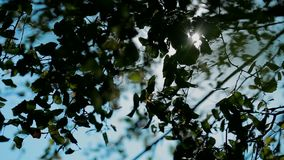 Birch leaves in sunny day stock video footage