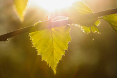 Birch leaves on a sunny spring day. Spring bright sun illuminates the birch leaves Royalty Free Stock Photography