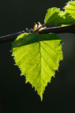 Birch leaves on a sunny spring day. Spring bright sun illuminates the birch leaves Stock Photo