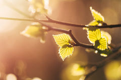 Birch leaves on a sunny spring day. Spring bright sun illuminates the birch leaves Royalty Free Stock Image