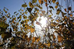 Birch leaves in sunny winds. The sun through the birch branches Royalty Free Stock Photography