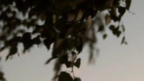 Birch leaves on a sunset background stock footage