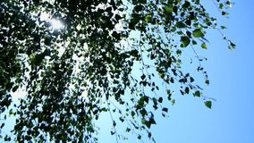 Birch leaves swaying in the wind. Birch leaves swaying in the background of the sun and blue sky, slowing 200 fps stock footage