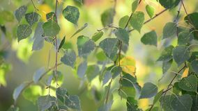 Birch leaves swaying on  wind in early autumn. Birch leaves swaying in the wind in early autumn stock video footage