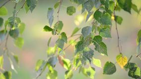 Birch leaves swaying on  wind in early autumn. Birch leaves swaying in the wind in early autumn stock video