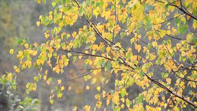 Birch leaves swaying on  wind in early autumn. Birch leaves swaying in the wind in early autumn stock footage